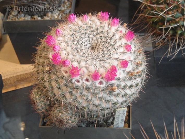 Kaktusy v botanickej zahrade kosice_087