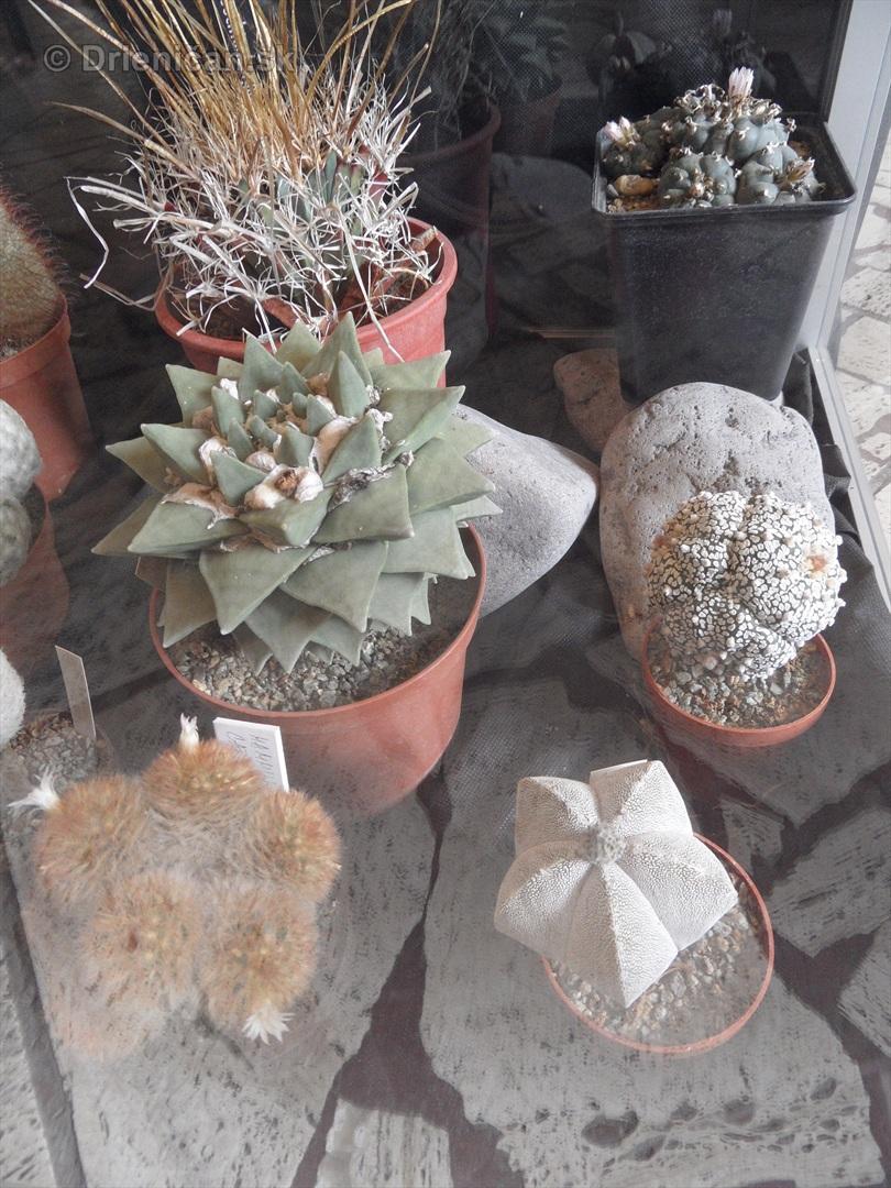 Kaktusy v botanickej zahrade kosice_092
