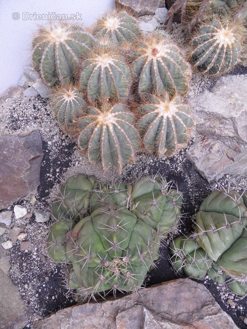 Kaktusy v botanickej zahrade kosice_100