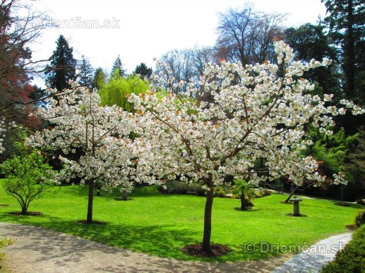 Sakura-Japonská čerešňa