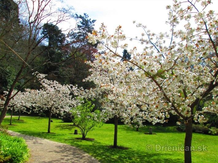 Sakura japonska ceresna_02