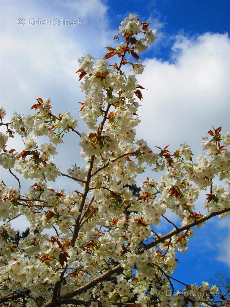 Sakura japonska ceresna_05