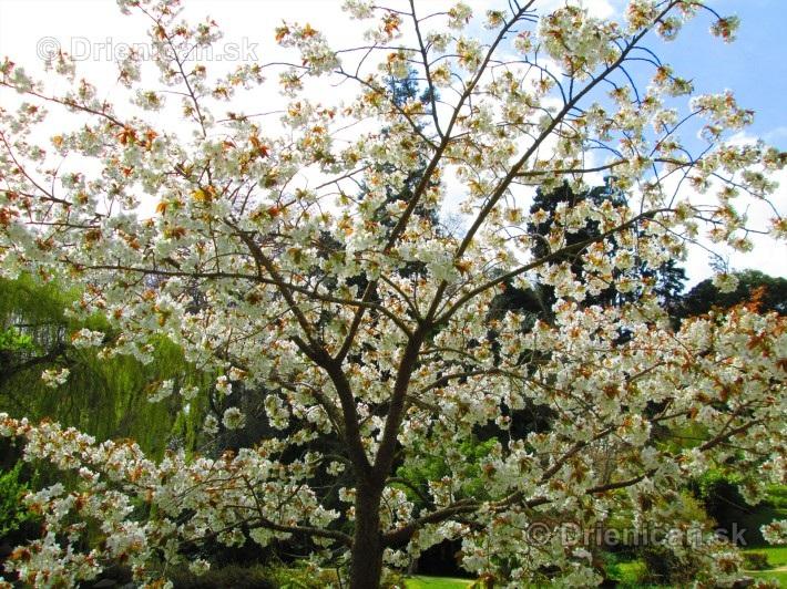 Sakura japonska ceresna_06