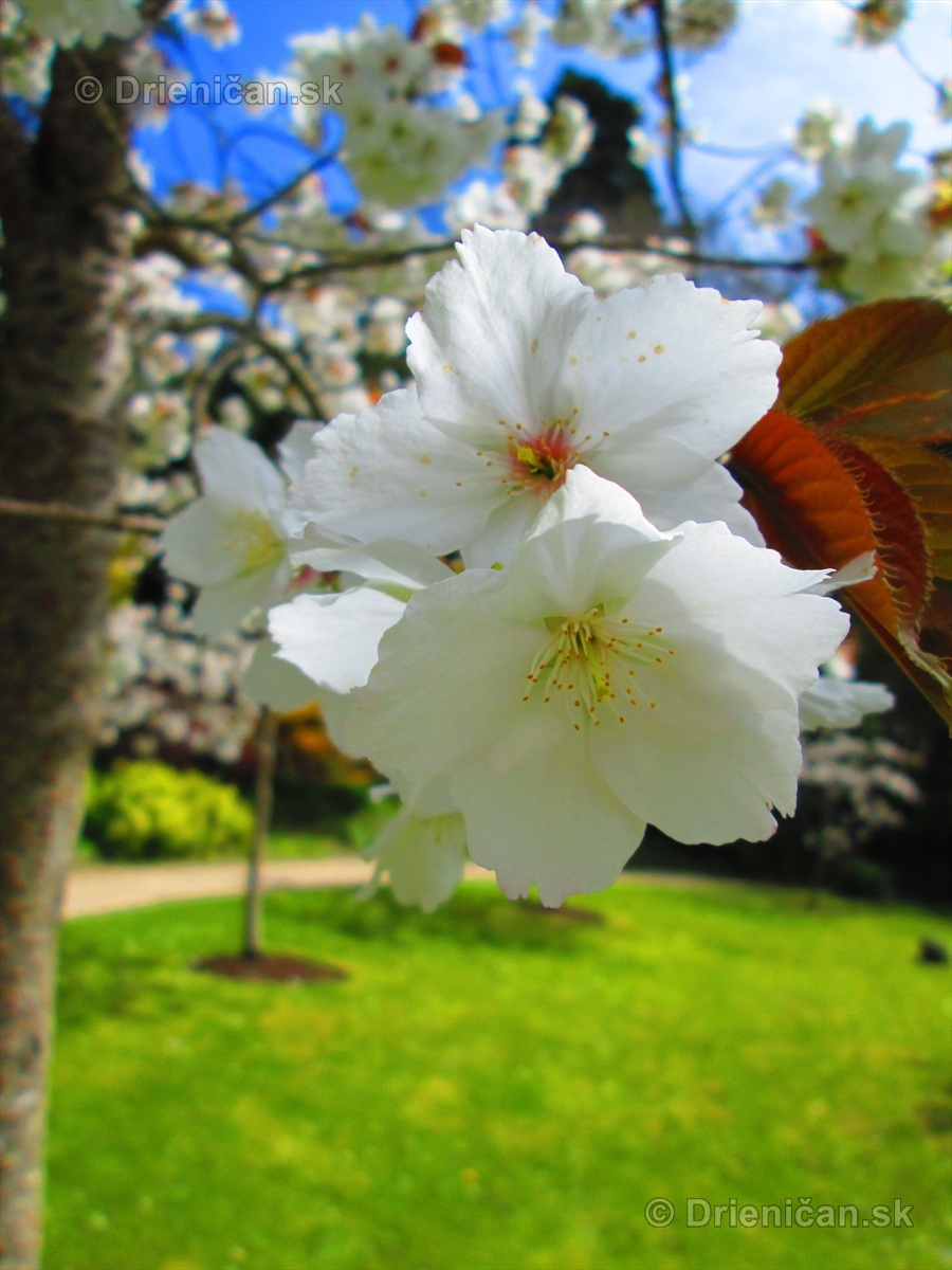 Sakura japonska ceresna_08
