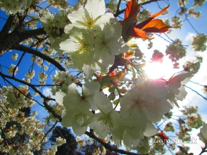 Sakura japonska ceresna_10
