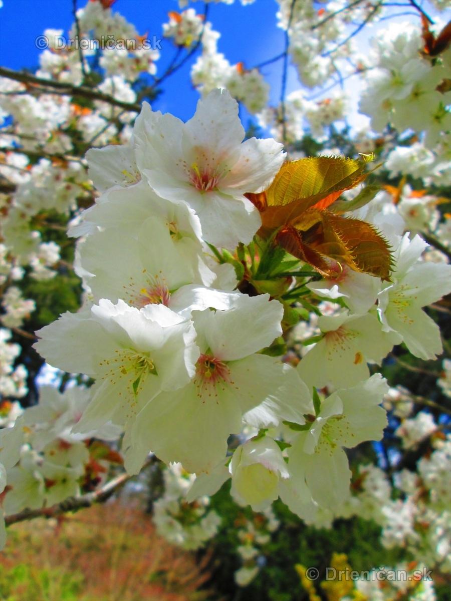 Sakura japonska ceresna_13
