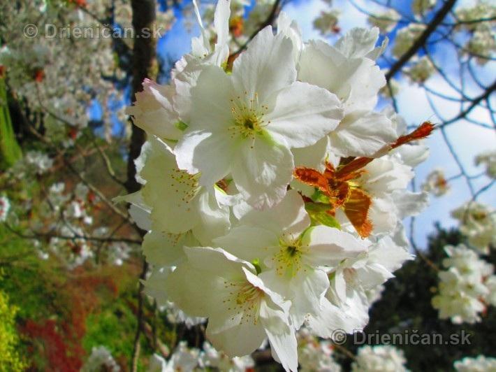 Sakura japonska ceresna_14