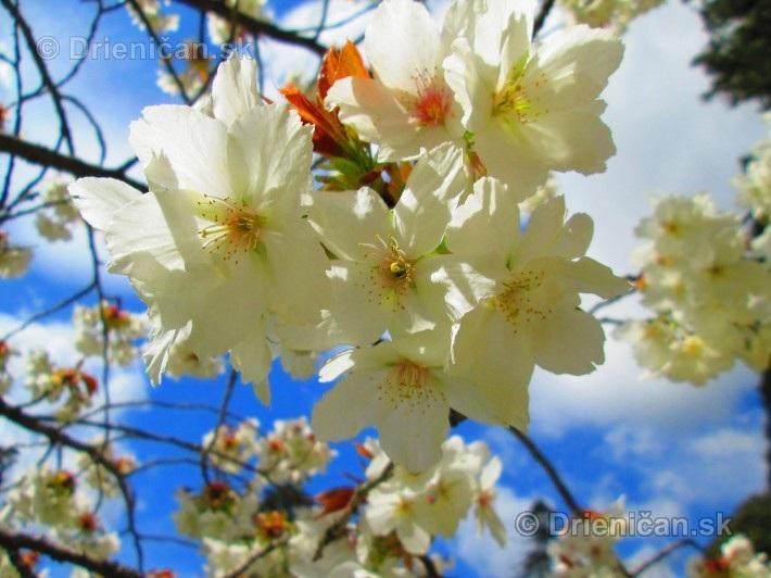 Sakura japonska ceresna_15