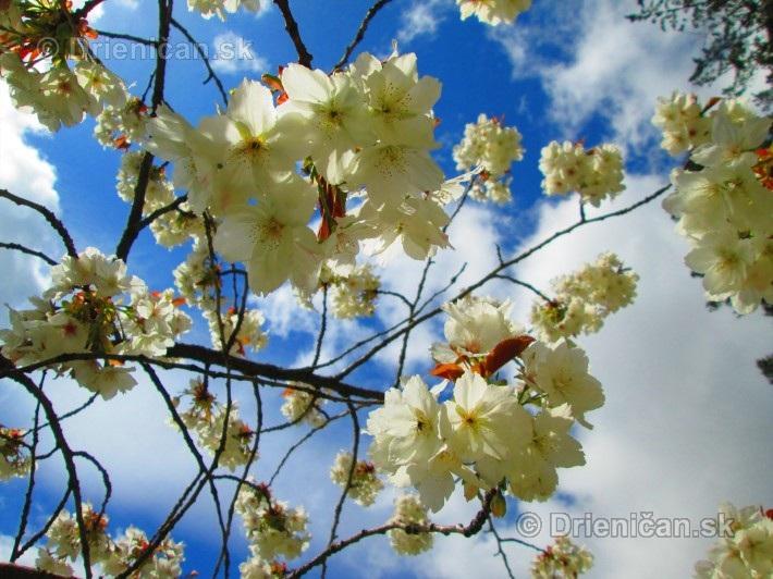 Sakura japonska ceresna_16