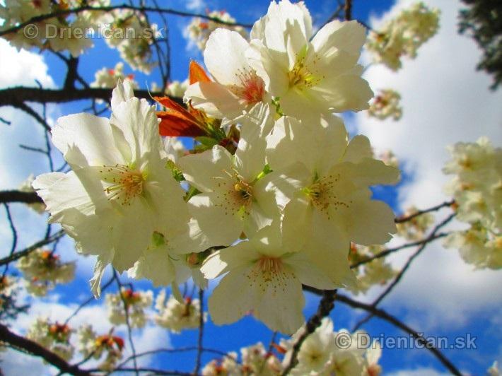 Sakura japonska ceresna_17