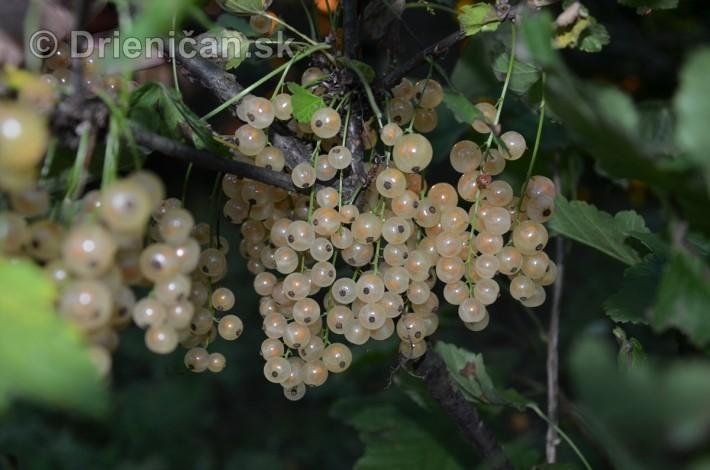 Biele ríbezle patria tiež do záhrady a vyznačujú sa jemnejšou chuťou, ako sú červené alebo čierne.