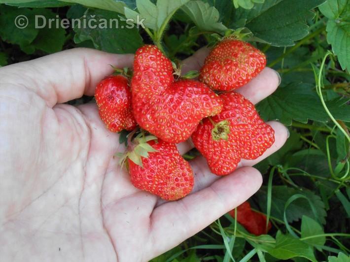 Nemajte strach, nejedná sa o jahody z Černobyľu, tieto pochádzajú zo šľachtených odrôd a aj keď niekedy vyzerajú ako motýľ, chutia naozaj skvelo !