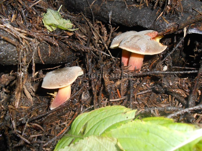 Huby Hriby v suchom lese_03