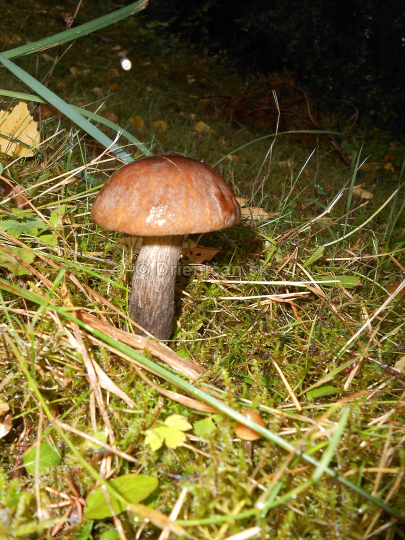 Huby Hriby v suchom lese_07