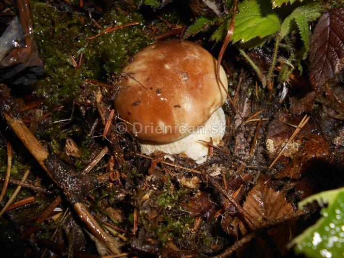 Huby Hriby v suchom lese_08