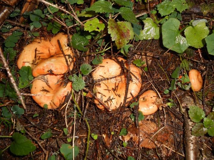 Huby Hriby v suchom lese_09