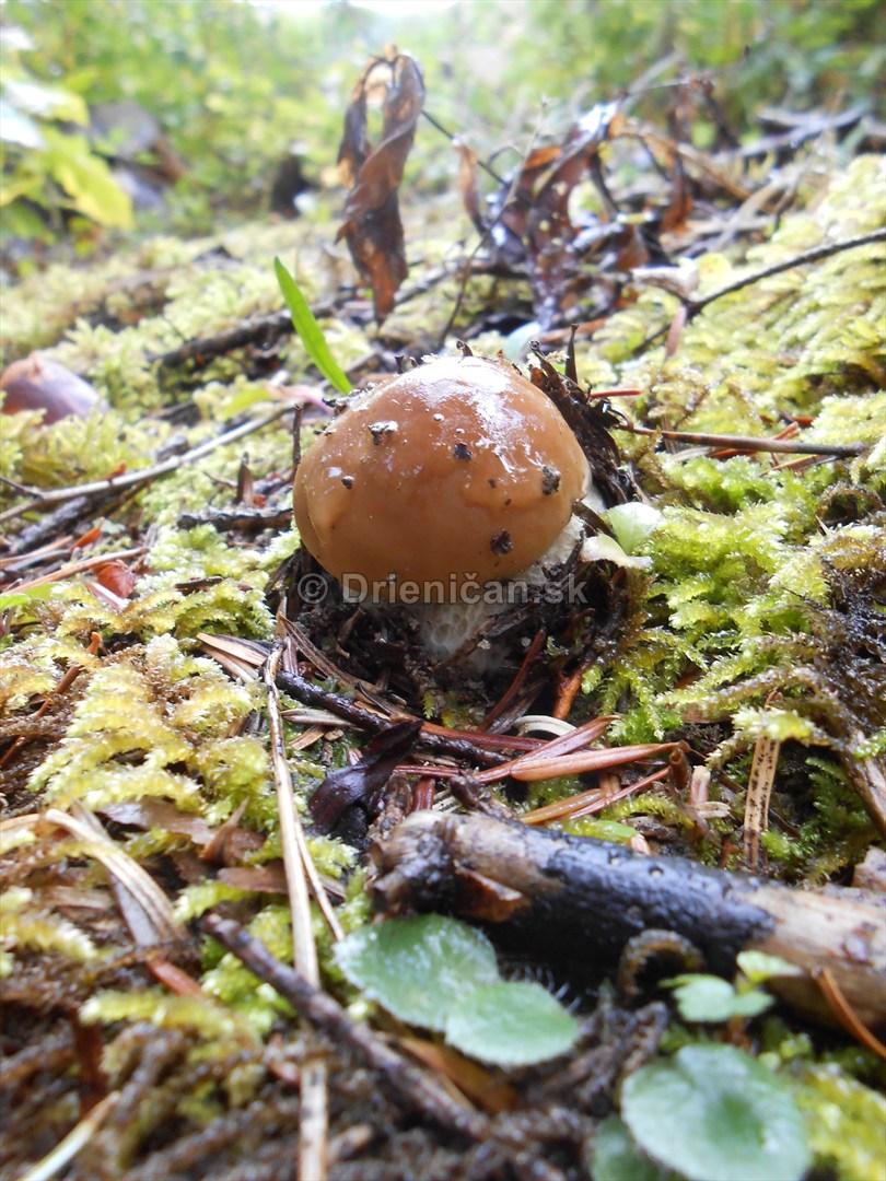 Huby Hriby v suchom lese_16
