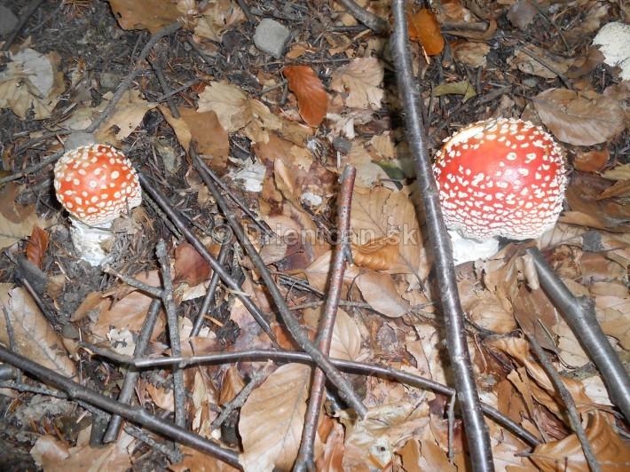 Huby Hriby v suchom lese_29