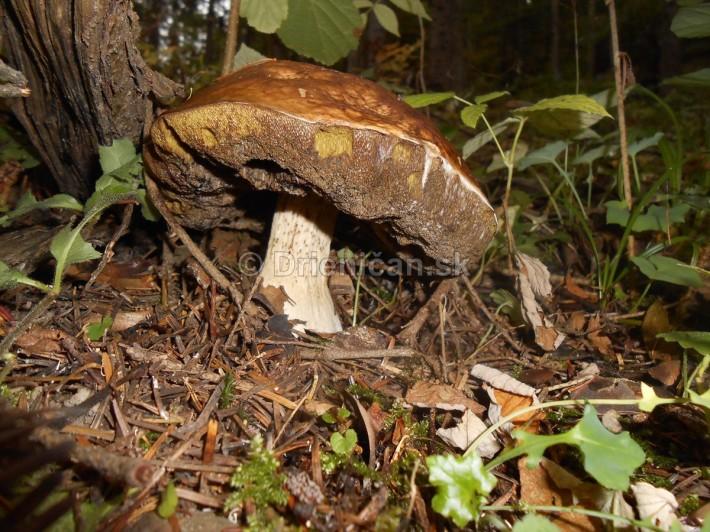 Huby Hriby v suchom lese_36