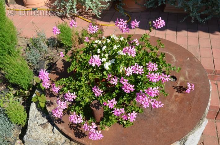 drienica kvety balkony_17