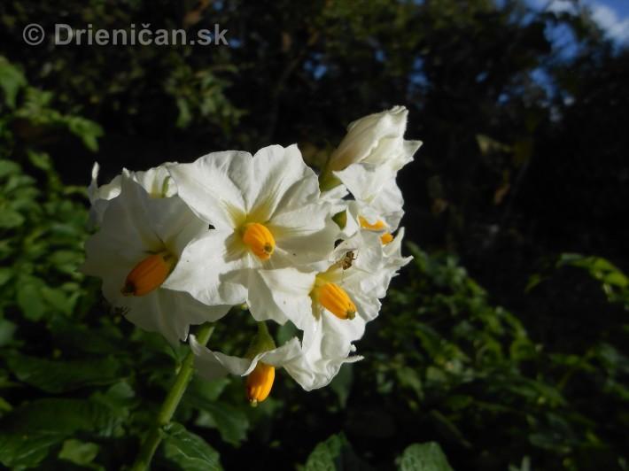 A takto kvitnú zemiaky, ktoré boli zasadené 18.7. po vykopaní prvej úrody...