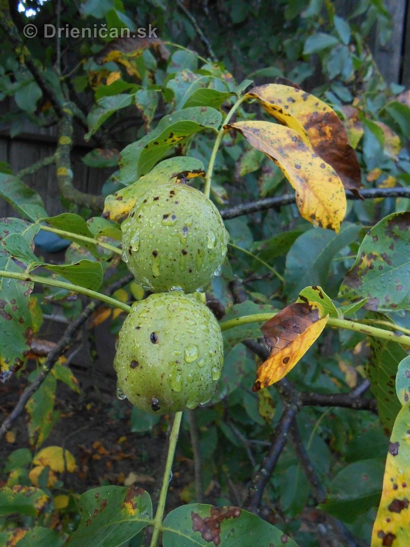 orechy jesen strom_03