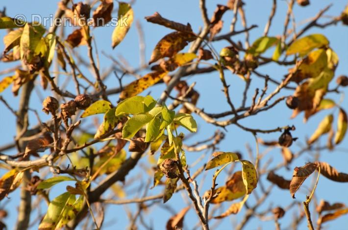 orechy jesen strom_04