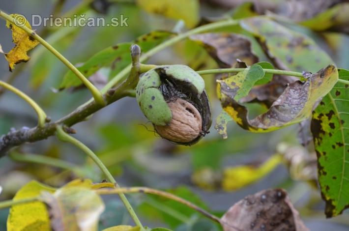 orechy jesen strom_05
