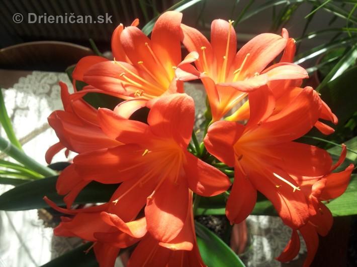 Amarylka a Klivia kvety_01