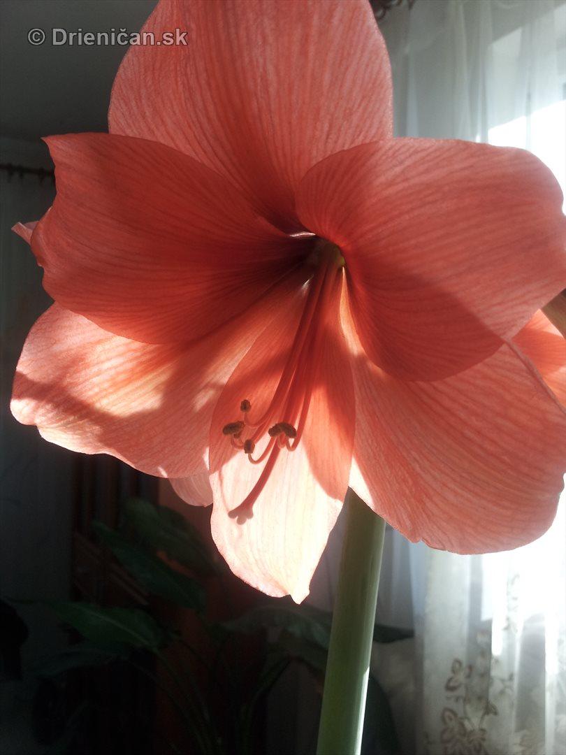 Amarylka a Klivia kvety_02