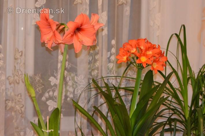 Amarylka a Klivia kvety_04