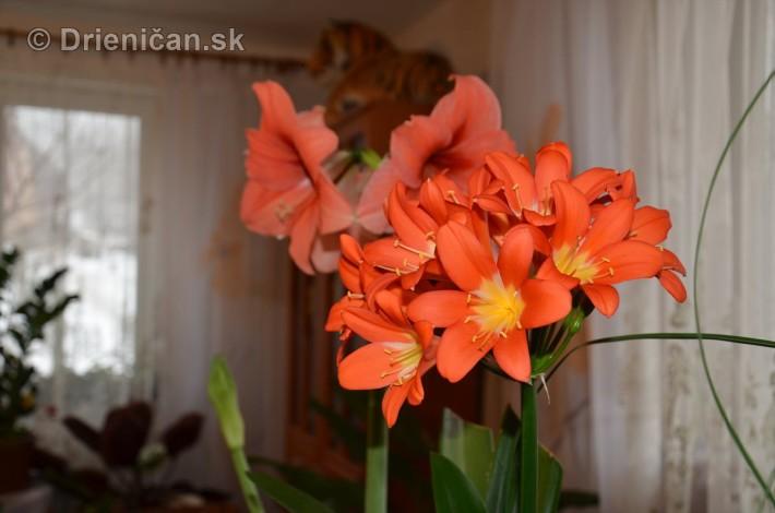 Amarylka a Klivia kvety_06