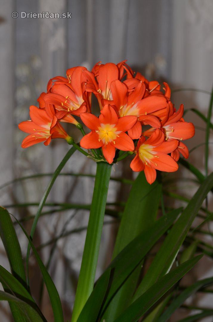 Amarylka a Klivia kvety_07