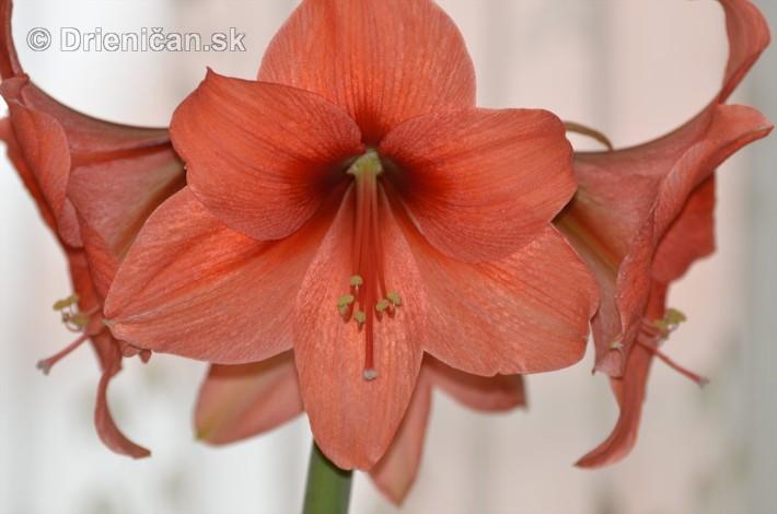 Amarylka a Klivia kvety_08