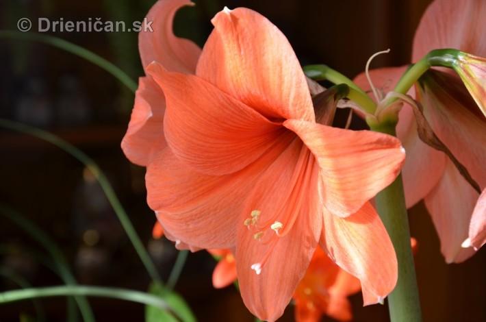 Amarylka a Klivia kvety_10
