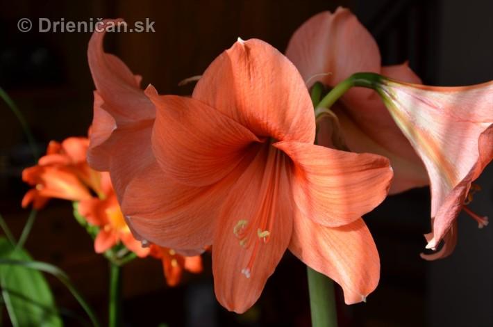 Amarylka a Klivia kvety_11