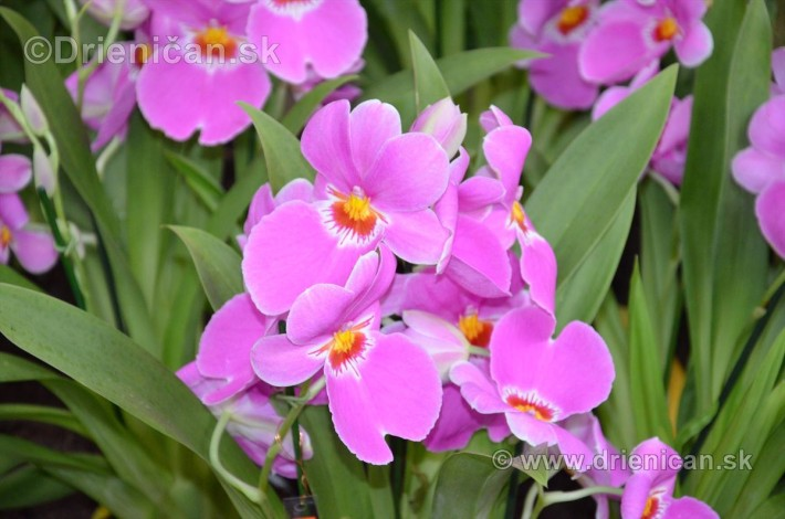 Vystava orchidei KE_04