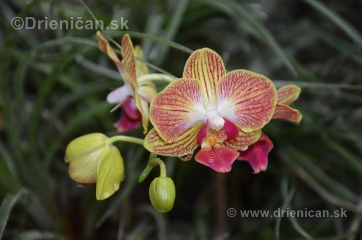 Vystava orchidei KE_11