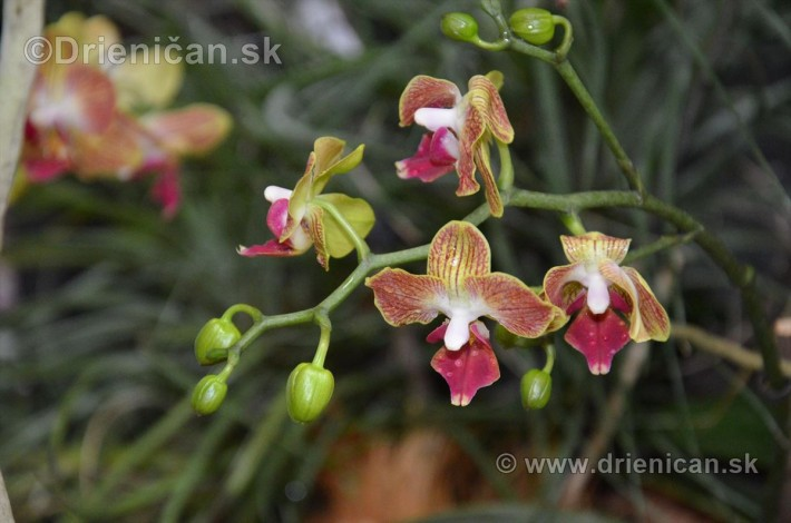 Vystava orchidei KE_12