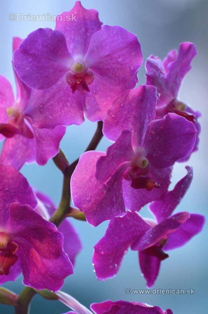 Vystava orchidei KE_16