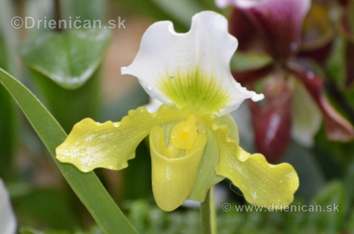 Vystava orchidei KE_20