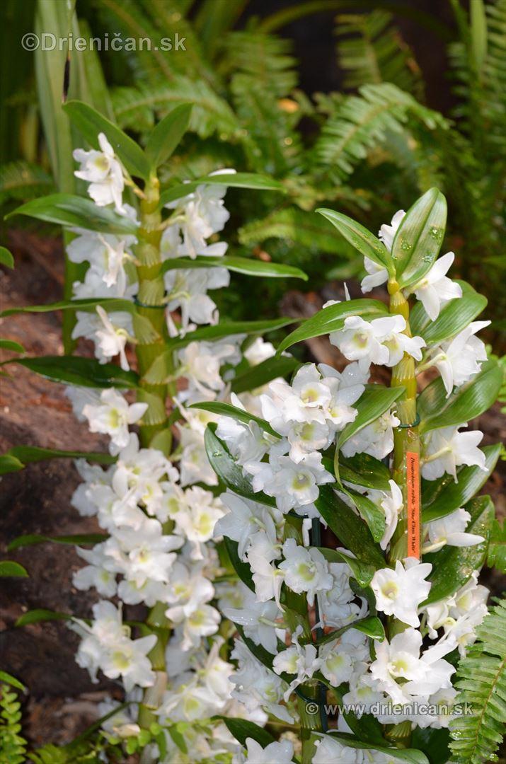 Vystava orchidei KE_21