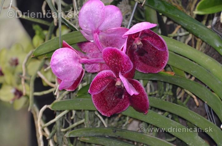 Vystava orchidei KE_25