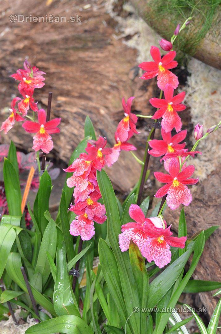 Vystava orchidei KE_27