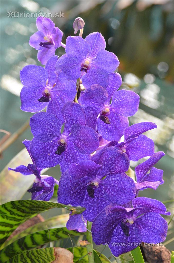Vystava orchidei KE_29