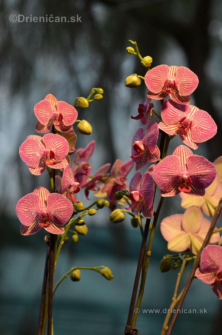 Vystava orchidei KE_30