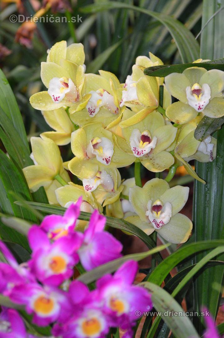 Vystava orchidei KE_32