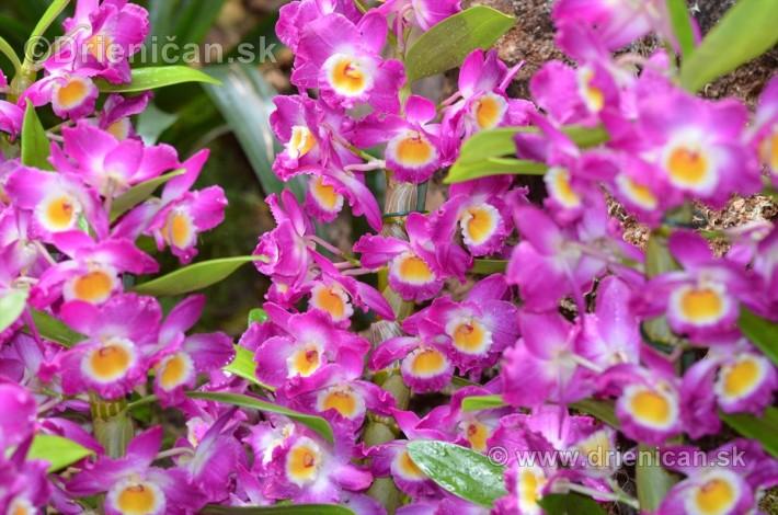 Vystava orchidei KE_38