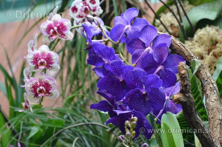 Vystava orchidei KE_39