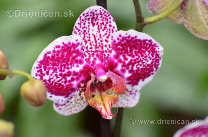 Vystava orchidei KE_41